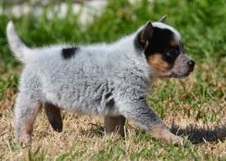 Sureley Australian Cattle Dog Puppies