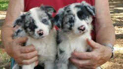 Australian Shepherd Pure Bred Pups