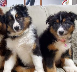 Australian shepherd pups