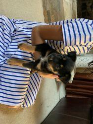 Australien Shepard Puppies