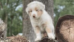 Australian Shepard puppies