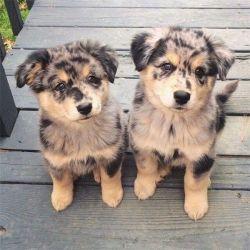Tri Coloured Charming Australian Shepherd pups for Sale