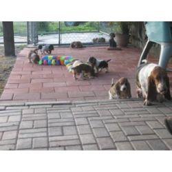 opopojojs Basset Hound Puppies