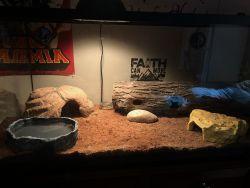 Ball python (40 gallon tank & all supplies)