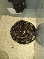 Adult male ball python