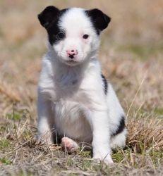 Entertaining Border Collie Puppies