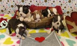 New Healthy Litter Boston Terrier Puppies Ready