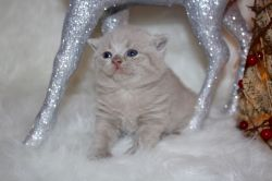 Pedigree Gccf Registered British Shorthair Kittens.Text us on (407) 84