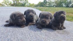 Big blue cane corso puppys