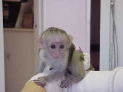 Capuchins monkey ready for thier foreverhomes
