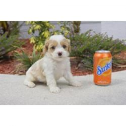 WONDERFUL CAVACHON PUPPIES FOR NEW HOMES