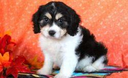 Beautiful Cavachon Puppies***male and female