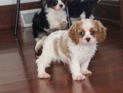 Cute Cavalier King Charles Spaniel puppies