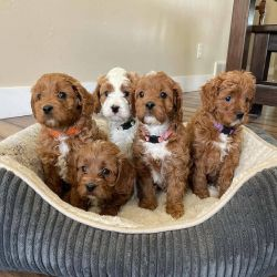 Stunning Red Cavapoo Babies From Health Tested Parents Available now