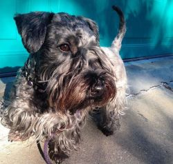Cesky Terrier Dogs and Puppies for sale