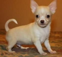 Extremely Beautiful Chihuahua Puppies For Sale