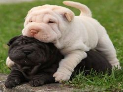 Wrinkled Chinese Shar-pei Pups ready