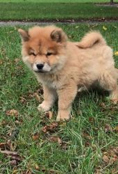 Chow Chow Male Puppies