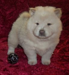 Healthy Chow Chow Puppies Ready