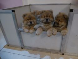 Adorable Chowchow Puppies