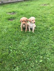 Golden Cockerdors Puppies