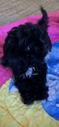 11 month old cockAchon pup for sale