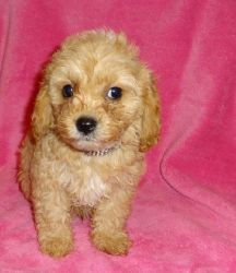 Cute and Lovely Cockapoo Puppies Available
