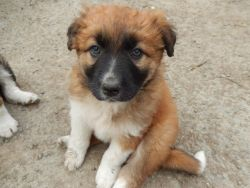 Welsh Collie Dogs and Puppies for sale