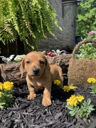 Mini female dachshund