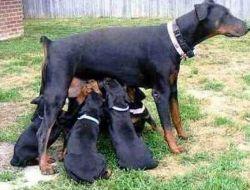 Doberman Pinscher puppies available.