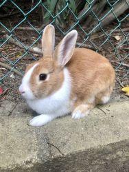 Dutch Cross Bunny