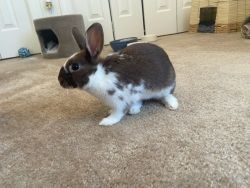 Bunnies for sale - two, need good home