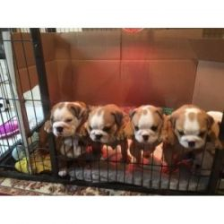 Male And Female English Bulldog Puppies. KC Registered