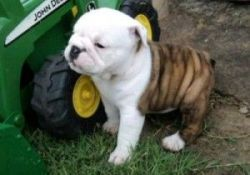 Adorable male and female English bulldog puppies ready now