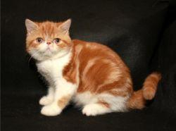 CFA beautiful exotic shorthair kitten.Text us on (xxx) xxx-xxx9