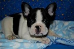 Healthy And Cute French Bulldogs For Adoption