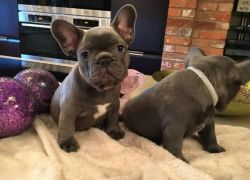 Stunning Female French Bulldog is ready for sale