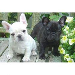 899898 French Bulldog Puppies For Adoption