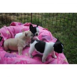 Male And Female Frenchies Puppies