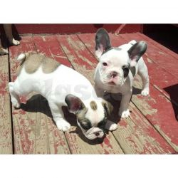 ere We Have 2 Beautiful Blue Fawn French Bulldog For Stud They Are Kc