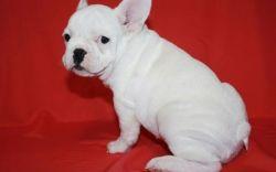Beautiful French Bulldog Puppies.