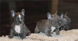 Lovely French Bulldog Puppies.