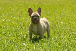 Coco Fawn Frenchie