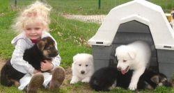 Gorgeous German Shepherd pups ready