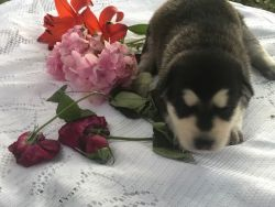 BLACK , WHITE AND BLUE SABLE AKC REGISTERED GERMAN SHEPHERD PUPPIES