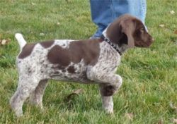 Beautiful German Shorthaired Pointer Puppies