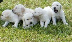 Goldador puppy for sale