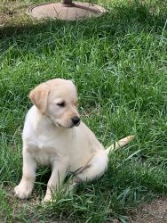 Goldador Puppies Available now!!
