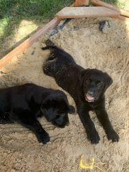 Goldador Puppies Ready Now!!!