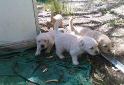 Adorable Golden Retriever Puppies Ready